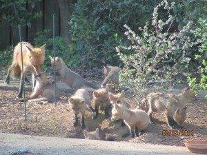 johns creek fox