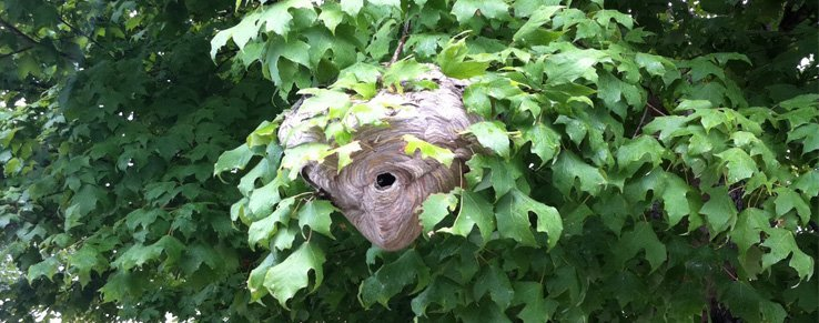 A Baldfaced hornet nest hive in tree.