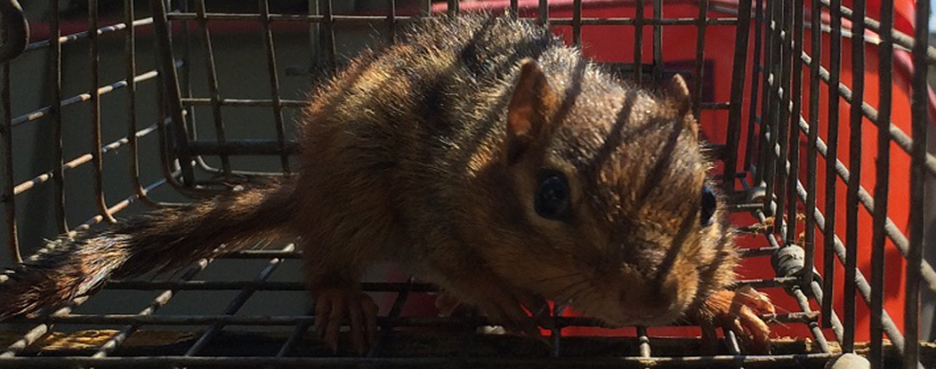 Chipmunk in a humane cage trap waiting to be relocated.