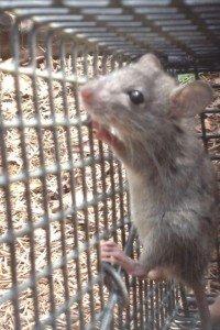 Crabapple Rat Trapping Job