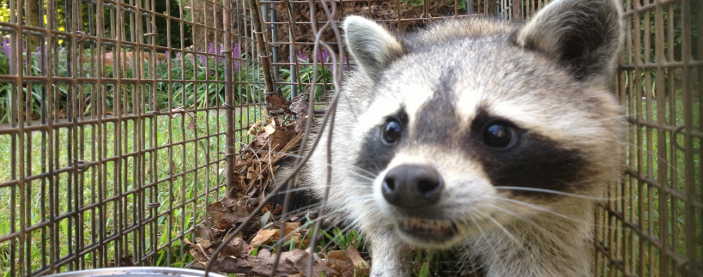 Raccoon-Trapping-Raccoon-Removal