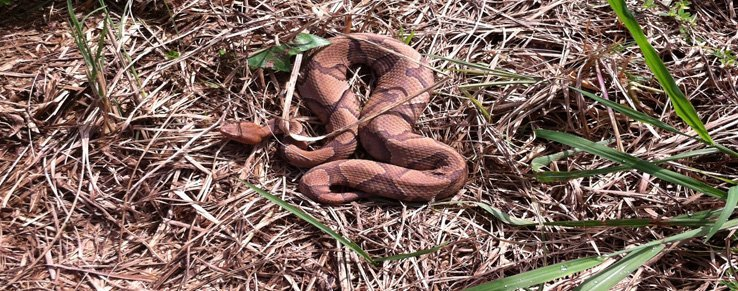 copperhead snake removal.