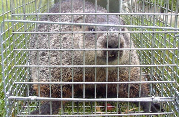Groundhog in a humane cage trap