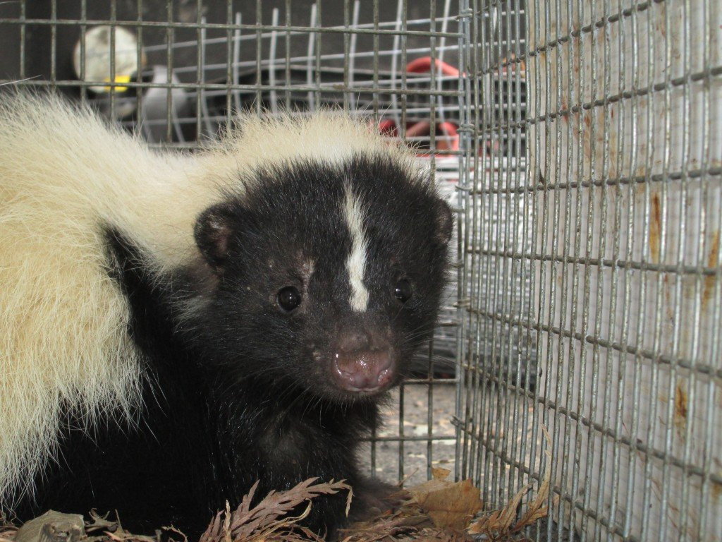 A Skunk in a humane cage trap awaiting relocation.