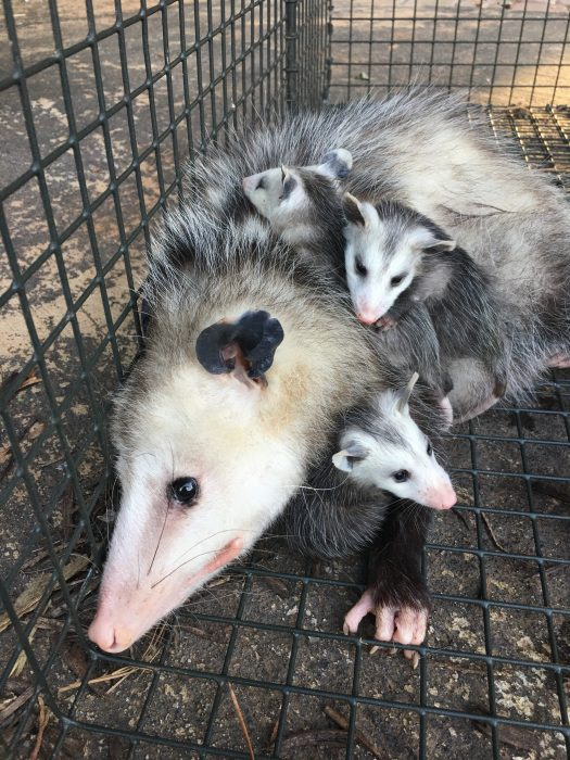 Another Possum with young in a humane cage trap about to be relocated.