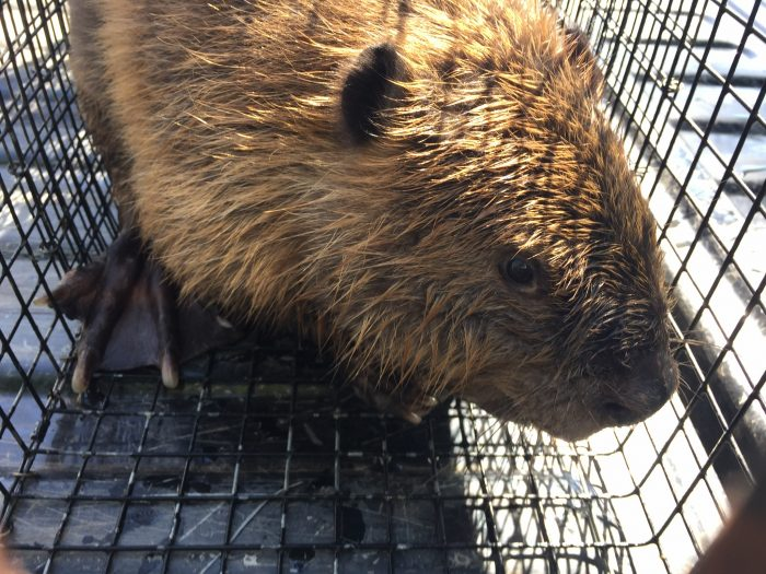 Beaver in a human cage trap.
