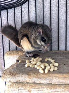 A Flying Squirrel feeding