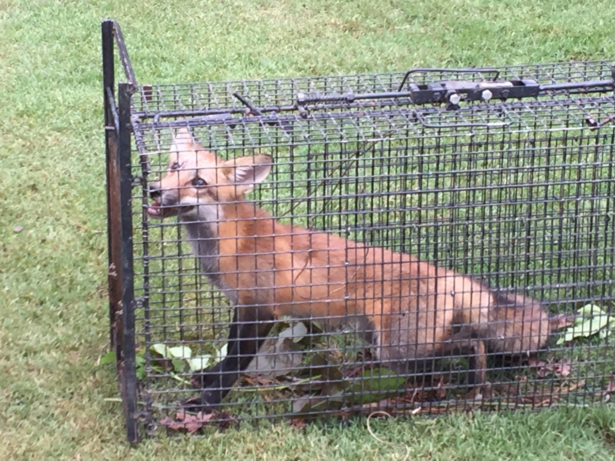 fox trapping johns creek