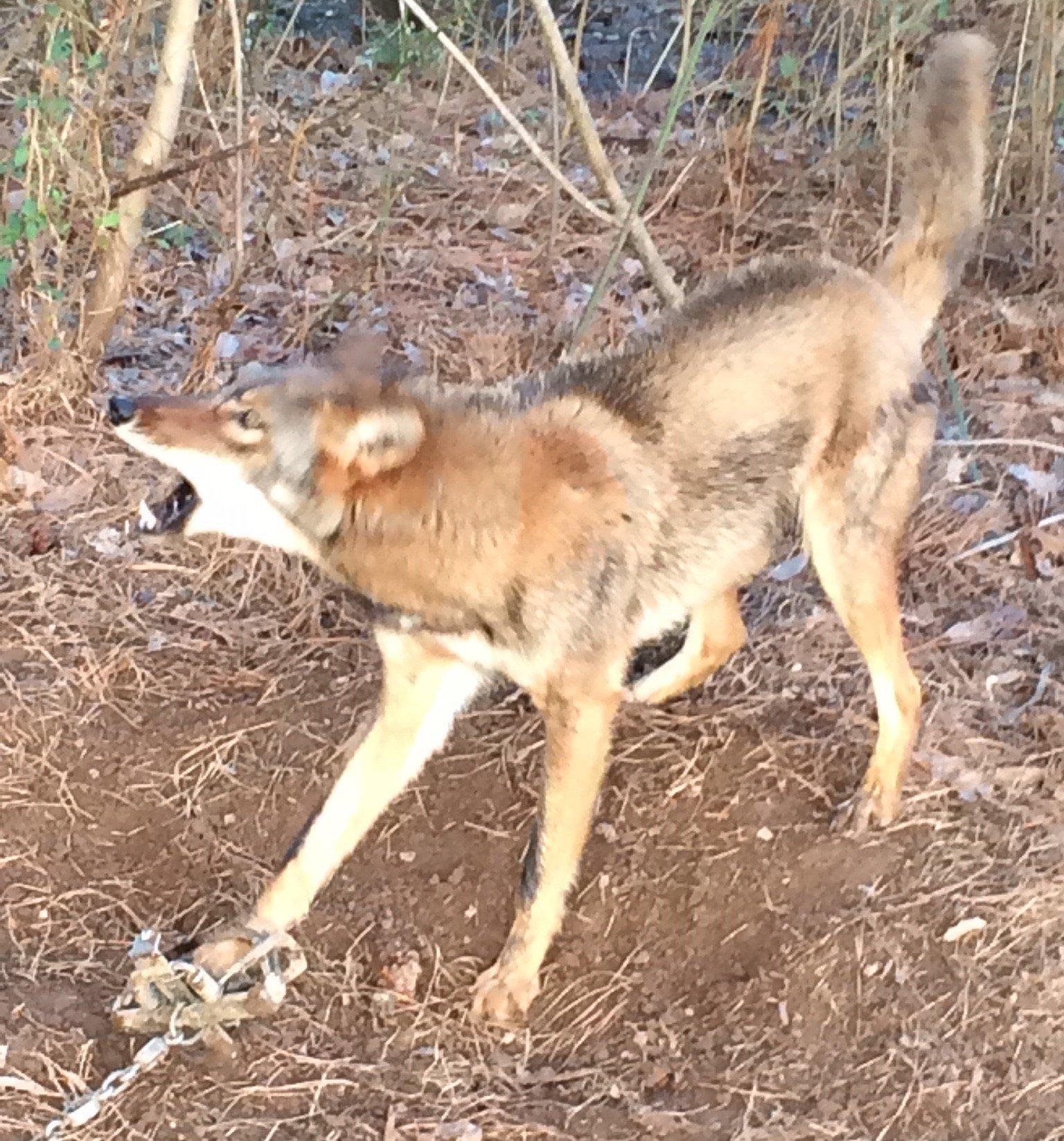 Alpharetta Coyote Trapping