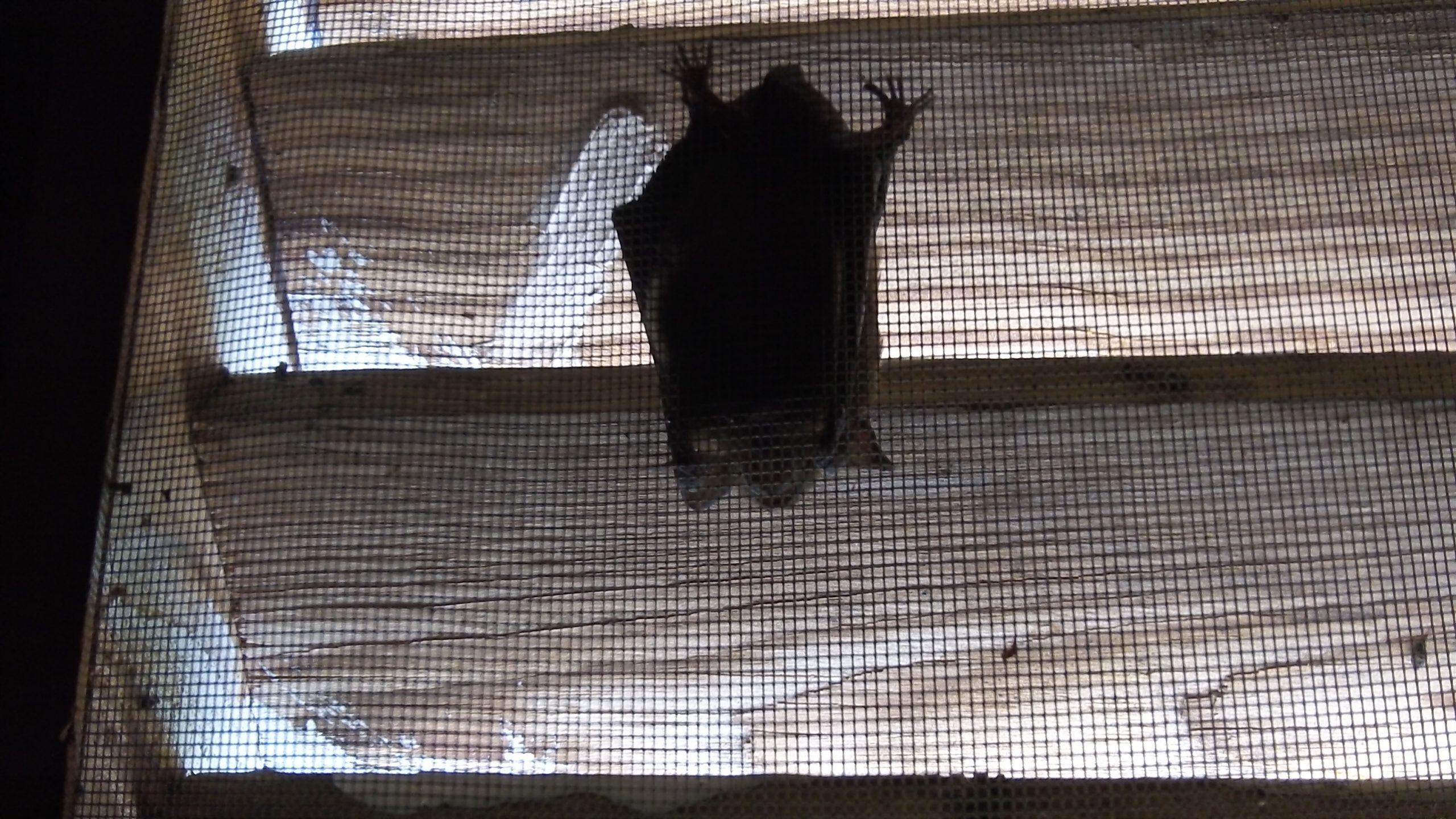 Bat in Gable (3)