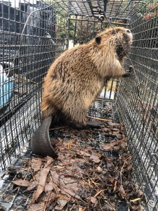 beaver trapping services