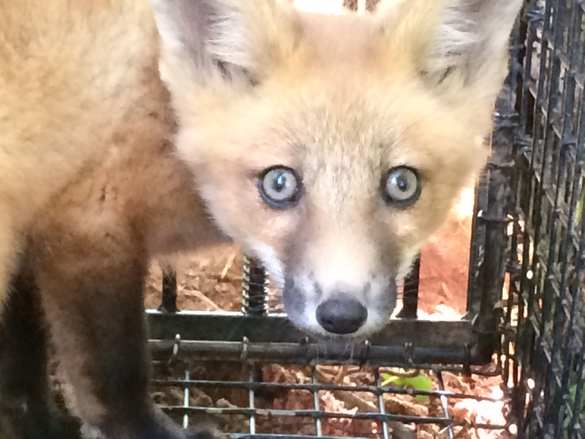 fox trapped