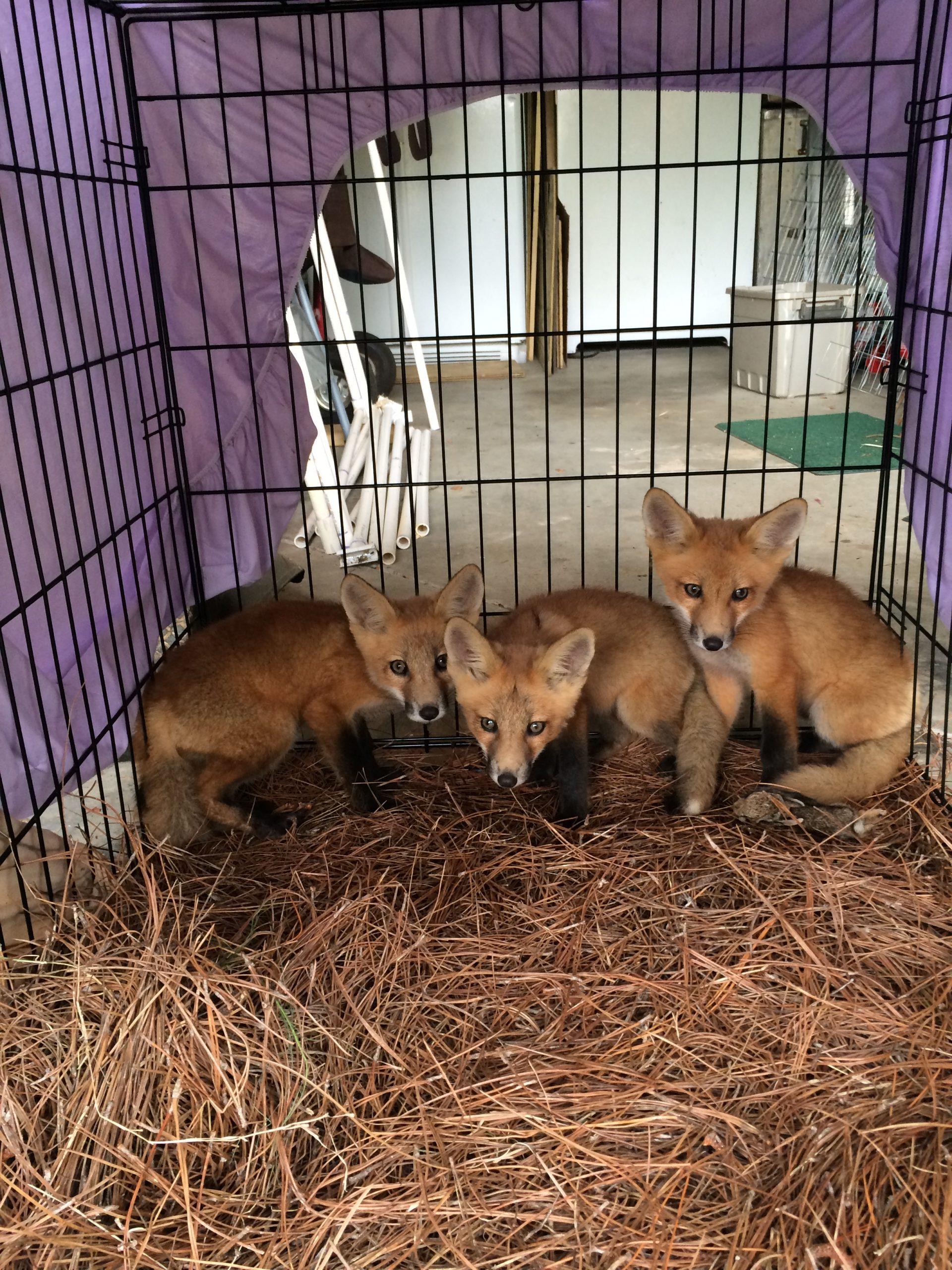 fox trapping alpharetta