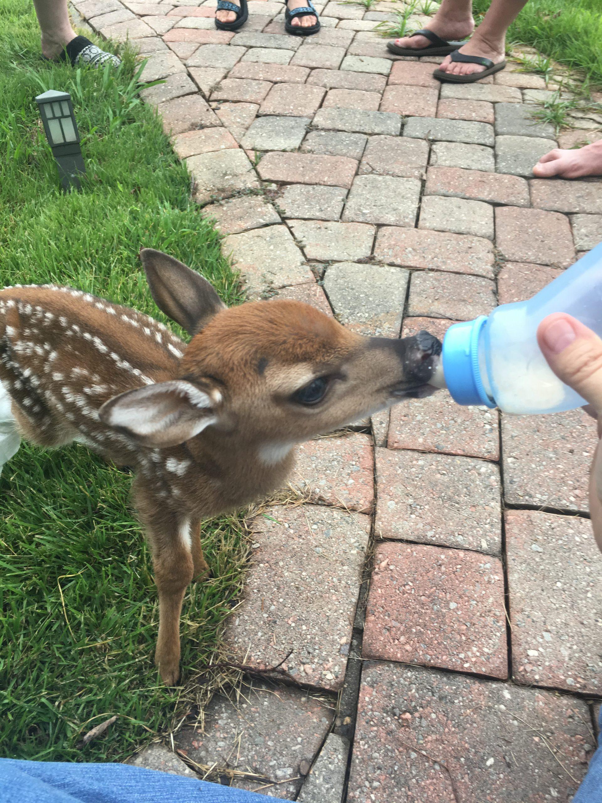 deer fawn rehab